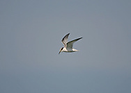 Little Tern - Sterna albrifons - Juvenile