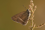 Long Tailed Blue Butterfly, Lampides boeticus, male, Controlled situation, UK, resting on grass seed head, underside of wings,