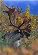 caribou,alaska,wildlife