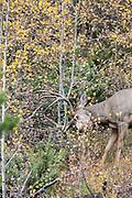 A buck mule deer rubs his antlers on an aspen tree during the fall rut.