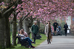 © Licensed to London News Pictures. 08/04/2020. London, UK. A woman takes a selfie with her partner in an avenue of blossoming cherry trees in Greenwich Park. Photo credit: George Cracknell Wright/LNP
