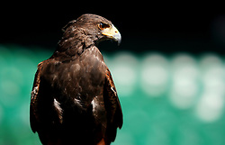 Rufus the Hawk is a Harris's Hawk used by the All England Lawn Tennis and Croquet Club to keep pigeons away from their venue pictured on day two of the Wimbledon Championships at the All England Lawn Tennis and Croquet Club, Wimbledon. PRESS ASSOCIATION Photo. Picture date: Tuesday July 3, 2018. See PA story TENNIS Wimbledon. Photo credit should read: John Walton/PA Wire. RESTRICTIONS: Editorial use only. No commercial use without prior written consent of the AELTC. Still image use only - no moving images to emulate broadcast. No superimposing or removal of sponsor/ad logos. Call +44 (0)1158 447447 for further information.