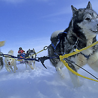 INTERNATIONAL ARCTIC PROJECT. Will Steger's sled dogs run through new snow near North Pole on Arctic Ocean, during 1995 expedition from Russia to Canada.