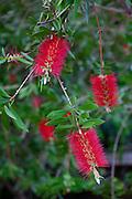 Red bottle brush Flower, Kula, Upcountry Maui, Hawaii