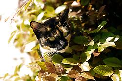 Zelda the cat stalks tasty birds outside her Oakland, Calif. home, Sunday, April 12, 2020. (Photo by D. Ross Cameron)