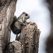 This is a Japanese dwarf flying squirrel (Pteromys volans orii) that has found a comfortable place to perch on an overcast day.
