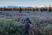 An early morning hiker on the tundra contemplating The Alaska Range, Denali National Park, Alaska