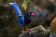 Taiwan Blue Magpie, Urocissa caerulea, Endemic, Taipei city park, Taiwan