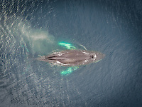 Aerial view of hunchback whale in turquoise waters in Alaska, Dutch Harbor, USA.