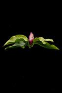 Die Magnolien (Magnolia) sind eine Pflanzengattung in der Familie der Magnoliengewächse (Magnoliaceae). Sie enthält annähernd 300 Arten, die alle aus Ostasien oder Amerika stammen. Die Gattung wurde nach dem französischen Botaniker Pierre Magnol benannt. Einige Magnolien-Arten und ihre Sorten sind beliebte Ziergehölze. Jenischpark in Othmarschen. Hamburg, Deutschland.  5.9.2017