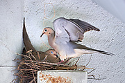 mourning Dove, bird, nest, nest building