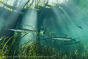 Longnose Gar, Lepisosteus osseus, gather in the sunlit shallows of Ichetucknee Springs State Park, Fort White, Florida