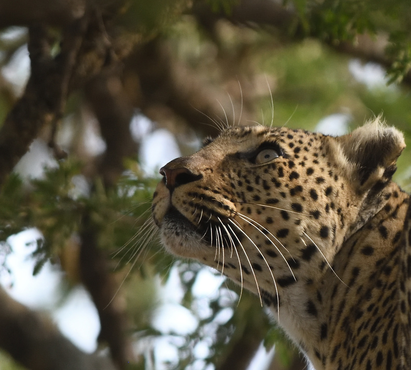 A leopard (Panthera pardus) that has killed a Thomson's gazelle (Eudorcas thomsonii) and carried it into a tree is disturbed by something and looks up into the tree. Serengeti National Park, Tanzania.