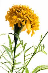 Marigold, tagetes erecta#3