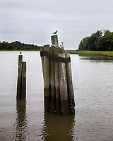 Two Birds on Pilings in Jeremy Creek McClellanville, South Carolina photo by catherine brown