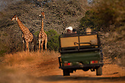 "Viewing giraffes from a safari land cruiser in the Phinda Game Reserve. <br /> <br /> Phinda Private Game Reserve encompasses an impressive 23 000 hectares (56 800 acres) of prime conservation land wilderness in KwaZulu-Natal, South Africa. Showcasing one of the continent's finest game viewing experiences. Phinda is described as ""Seven Worlds of Wonder"", with its seven distinct habitats - a magnificent tapestry of woodland, grassland, wetland and forest, interspersed with mountain ranges, river courses, marshes and pans. Phinda is a wilderness sanctuary where intimate encounters, adventure and rare discoveries can be experienced firsthand."
