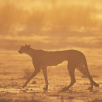 South Africa, Kgalagadi Transfrontier Park, Cheetah (Acinonyx jubatas) walking thorugh dry channel of Nossob River in Kalahari Desert at sunrise