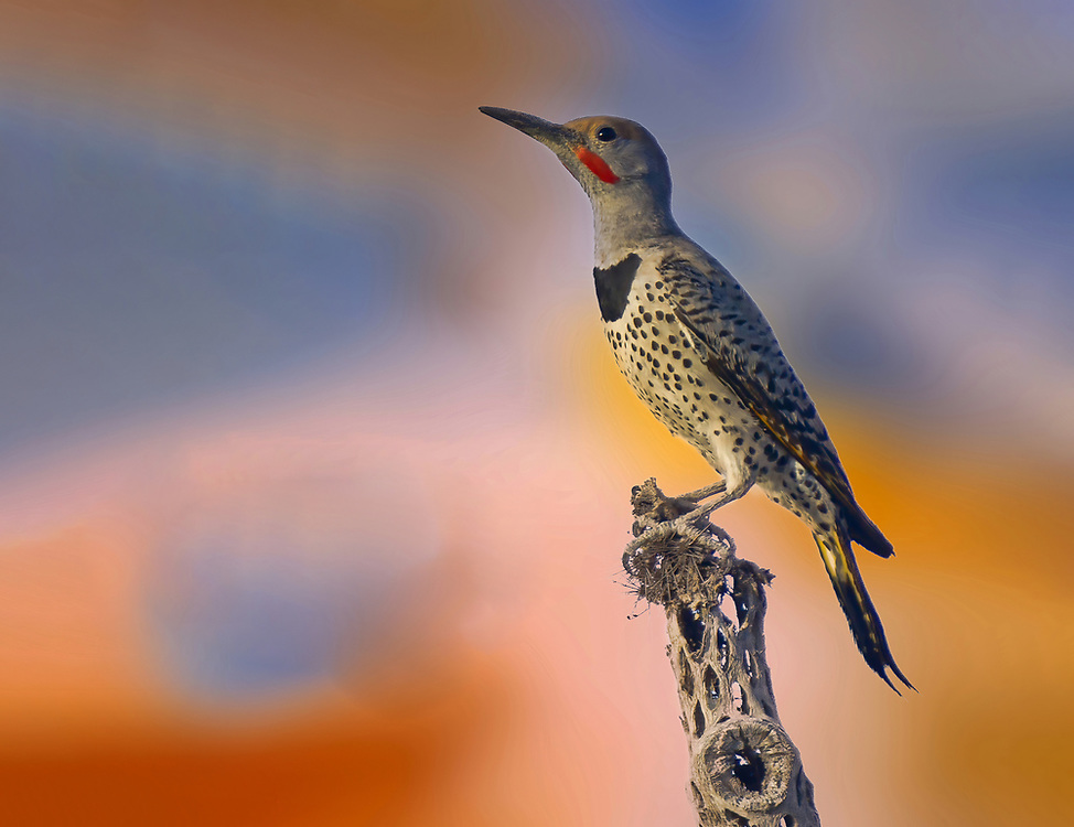 A guilded flicker resting on a dead cholla branch