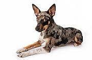 Studio portrait of a Cattle Dog, Blue Heeler, Australian shepherd mix rescue dog on white background.
