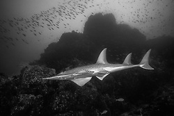 Equipped with ventrally-located mouth and gill openings, along with a sleek body and powerful tail, the Giant Guitarfish, Rynchobatus djiddensis, is something of a missing link between sharks and rays. Richelieu Rock, Thailand, Andaman Sea