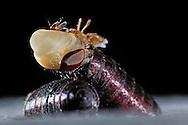 """Flesh fly, Sarcophagidae, hatches out of a barrel-shaped pupa, expandable forehead pouch visible. Flesh-flies are Cyclorrhapha. Past around 10 days pupal rest, the flies open the top of the pupae by expandable forehead pouch, which works like a hydraulic lever. After the hatch the expandable forehead pouch forming back. The pupae length is 10-16 mm. From egg deposition, via larval stage through to hatch the development time is 2-3 weeks. The development period depends on ambient temperature. Worldwide distribution. This picture is part of the series """"Escape into life""""..Fleischfliege, Sarcophagidae, schlüpft aus ihrer Tönnchenpuppe, Stirnblase deutlich sichtbar, Fleischfliegen sind Deckelschlüpfer. Nach ca. 10 Tagen Puppenruhe sprengen sie mittels ihrer Stirnblase, die wie ein Hydraulikhebel wirkt, den Deckel der Puppe ab. Die Stirnblase entwickelt sich nach dem Schlupf wieder zurück. Die Puppengröße beträgt 10-16 mm. Von der Eiablage, Über das Larvenstadium, bis hin zum Schlupf beträgt die Entwicklungszeit ca. 2-3 Wochen. Die Entwicklungsdauer hängt von der Umgebungstemperatur ab. Verbreitung weltweit. Diese Bild ist Teil der Serie ,,Ausbruch ins Leben""""."""
