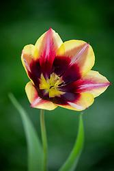 Tulipa 'Gavota' AGM