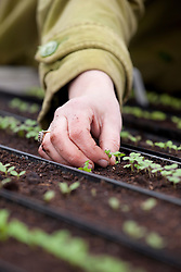 Thinning out salad seedlings sown in gutter pipes