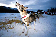 The huskies wait to be fed on the evening before the start of the expedition