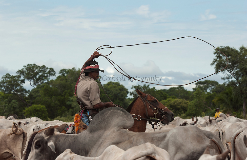 Pantanal cowboy 'Boiadeiro' ('Adão' Gilson Gomez) in the Central Pantanal attempts to lasso a bull. They wear hard-wearing leather chaps over jeans or even shorts. Boots or bare foot depending on the season or where they are working. Many carry guns as there are cattle thiefs who attempt to steal the cattle as the fazendas are large. The 'boiadeiros' often decorate their clothing and horses and tack with pieces of metal.<br /> Pantanal. Largest contiguous wetland system in the world. Mato Grosso do Sul Province. BRAZIL.  South America