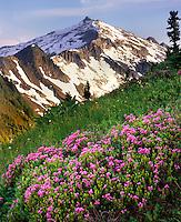 Hidden Lake Peak with meadows of pink mountain heather, North Cascades National Park Washington USA