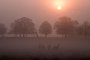 © Licensed to London News Pictures. 08/04/2015. Richmond, UK Sunrise in Richmond Park, West London today 8th April 2015. Photo credit : Stephen Simpson/LNP