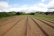 Rows of seedlings in a field perspective shot, Riverford organic farm, Devon, UK food industry