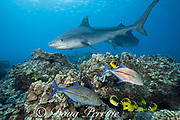tiger sharks, Galeocerdo cuvier, swim past coral reef with bluefin trevally or omilu, racoon butterflyfish, bluestripe snapper or ta'ape, and other reef fish, Honokohau, Kona, Big Island, Hawaii, USA ( Central Pacific Ocean )