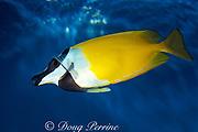 foxface rabbitfish, Siganus vulpinus, <br /> Great Barrier Reef, Australia <br /> ( Western Pacific Ocean )