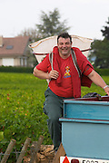 pinot noir harvesting with hod vineyard beaune cote de beaune burgundy france