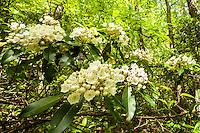 Mountain Laurel growing along the Jacks River, Cohutta Wilderness, Chattahoochee National Forest