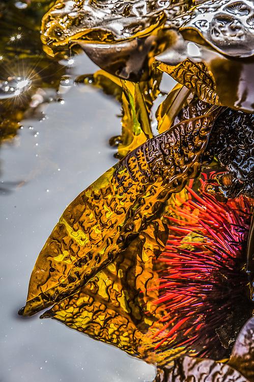Kelp and sea urchin, tidepool, Tongue Point Marine Sanctuary, North Olympic Peninsula, Salish Sea, Washington, USA