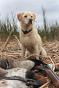 Ten-year-old Yellow Lab, Rosie, with a mixed bag of geese and ducks during a hunt.