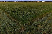 Rows of cut lucerne on farm near Maitland, NSW, Australia