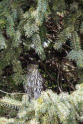 Cooper's Hawk (Accipiter cooperii) Immature
