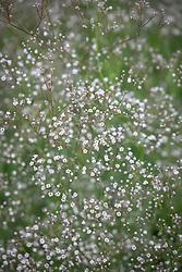 Gypsophila 'White Single'
