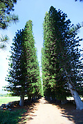 Cok pines, Kipu Ranch, Kauai, Hawaii