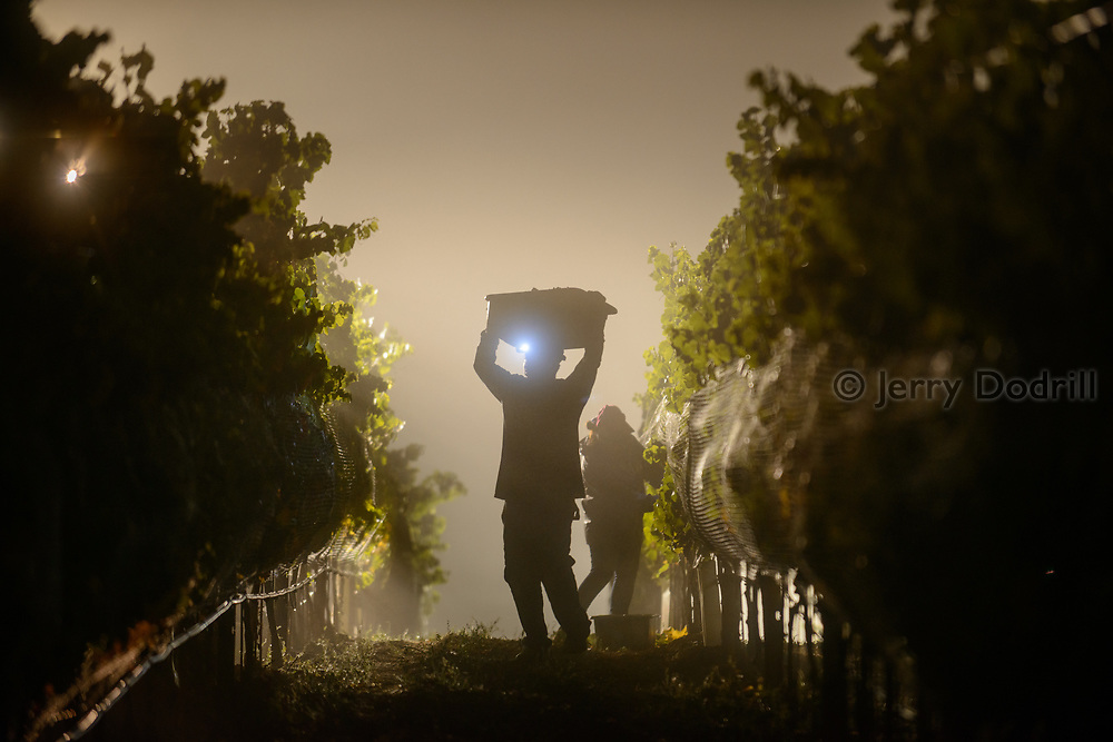 A vineyard worker carries freshly picked pinot noir grapes at 4am on a foggy September morning in Freestone, West Sonomy County, California