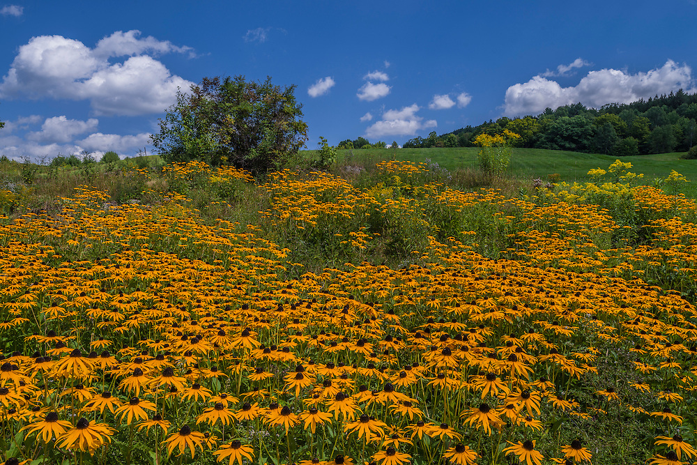 Black-eyed Susans and green field on hill in summer, Woodstock, VT