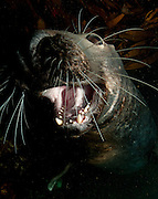 gray seal: Halichoerus grypus, face to face with the camera, Newquay, Cornwall