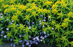 Euphorbia polychroma 'Major' with forget-me-nots