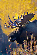 Autumn bull moose(Alces alces) standing in front of a cluster of larch (larix laricina) trees, Anchorage.