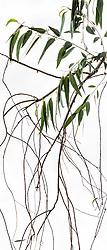 Eucalyptus camaldulensis #8