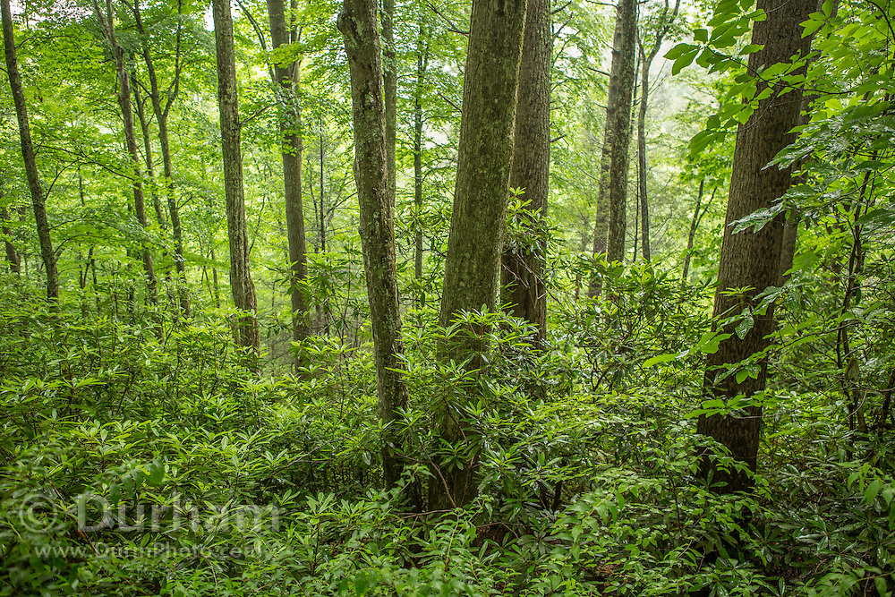 Woods with rhododendrons in the Cherokee National Forest , Tennessee.