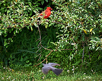Northern Cardinal. Image taken with a Nikon D3s camera and 600 mm f/4 VR lens.